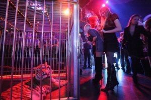 Tiger in Moscow Nightlife