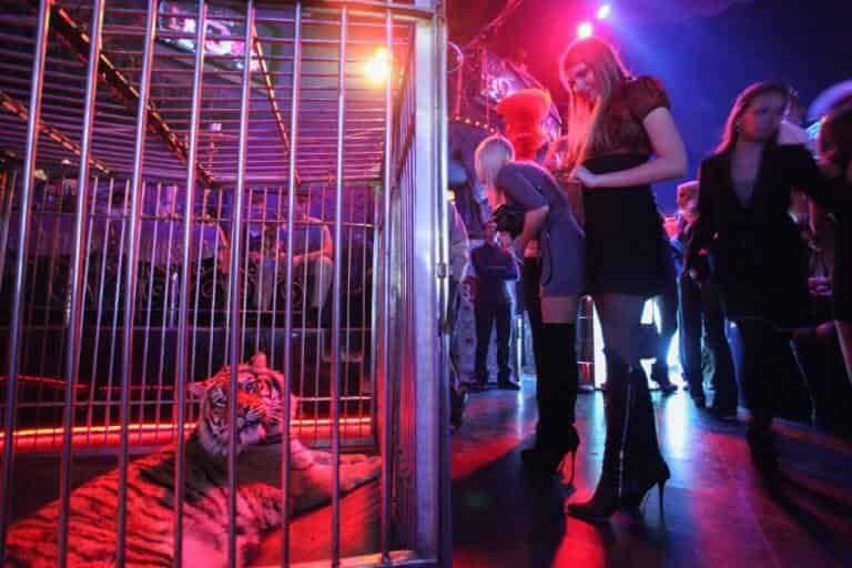 Tiger in cage in Moscow Nightlife